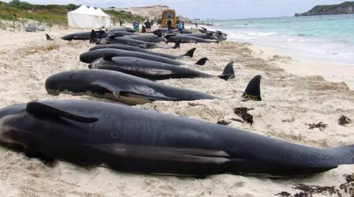 Más de 30 ballenas piloto varadas fueron sacrificadas en Nueva Zelanda