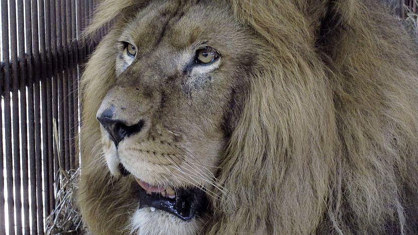 Comenzó inédito traslado en avión de 25 leones de Bolivia a EE.UU.