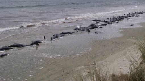 Más de 100 ballenas piloto mueren tras quedar varadas en Nueva Zelanda