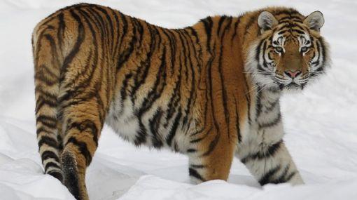 Solo 14 tigres siberianos garantizan la salud genética de la especie
