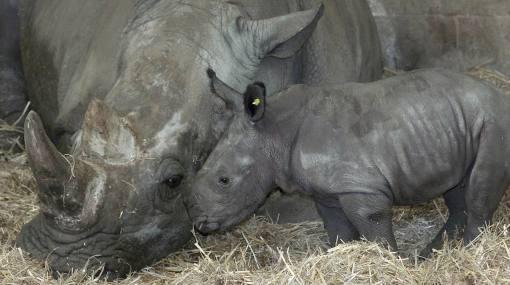 Sudáfrica: proponen quitar cuernos a rinocerontes para evitar caza furtiva