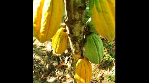 Hallan legendaria variedad de cacao que se creía extinta desde hace 90 años
