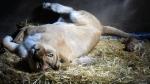 Dos leoncitos nacieron en cautiverio en el zoológico de Huancayo - Noticias de boris ayala pena
