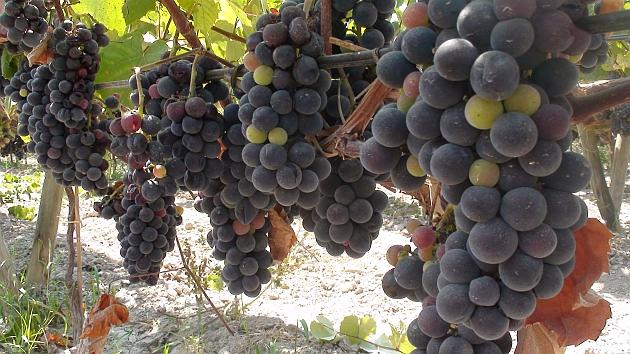 ¿Cómo se cultivan y cosechan las uvas en un viñedo?