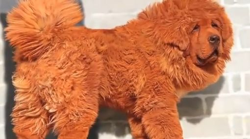 El perro más caro del mundo vale casi 1,5 millones de dólares