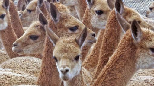 Cazadores furtivos matan a 85 vicuñas en Huancavelica