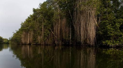 Reforestarán 7 hectáreas del Santuario Manglares de Tumbes