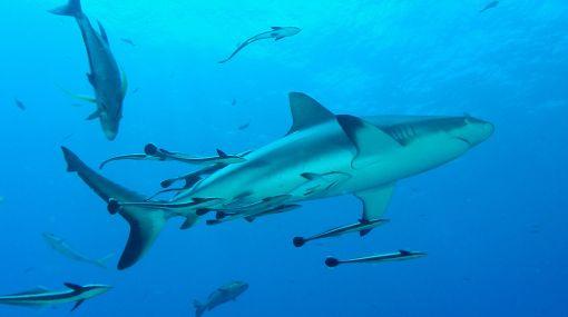 Los tiburones valen más vivos que muertos