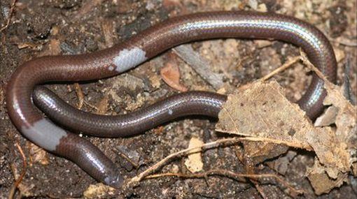 ¿Lombriz, serpiente o lagarto? ¿Qué es este inusual animal?