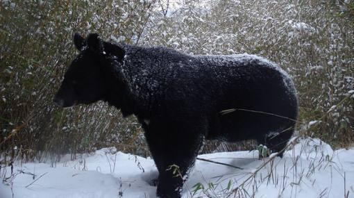 Asia: denuncian caza furtiva de osos para comercializar su bilis