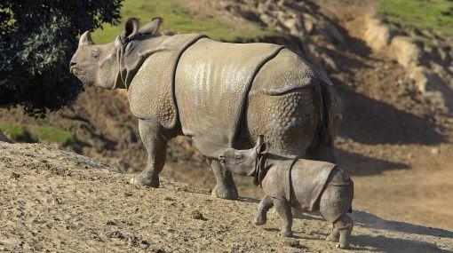 Rinocerontes indios siguen amenazados por la caza furtiva en Nepal