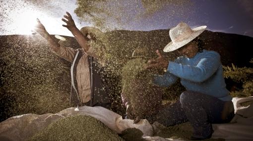 Tacna prepara el VII festival del orégano