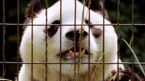 El panda gigante más viejo del mundo murió a los 34 años