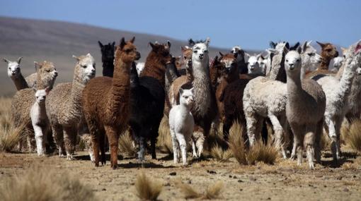 Unas 15 mil alpacas murieron por heladas en zonas altas de Arequipa