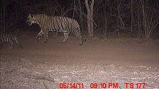 """Instinto paternal: tigre macho """"adoptó"""" a dos cachorros huérfanos"""