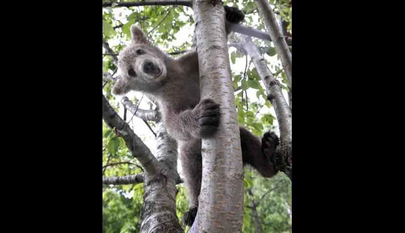 El abrazo del oso: familia eslovena quiere adoptar a este tierno animal