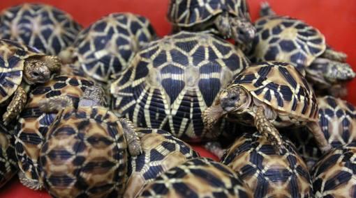 Tráfico de animales en Tailandia: incautan 451 tortugas exóticas