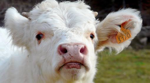 "Argentina: presentan primera vaca clonada que da ""leche maternizada"""