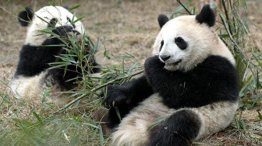 Conservación de osos panda será supervisada desde China