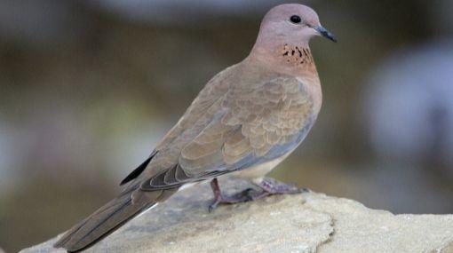 Más vale sola: las palomas gastan más energía si vuelan en grupo