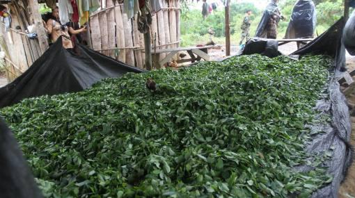 ONU: Perú casi iguala a Colombia en producción de hoja de coca