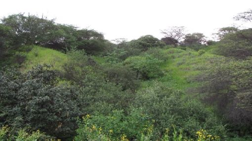 Lambayeque: áreas de conservación regional protegerán bosques secos