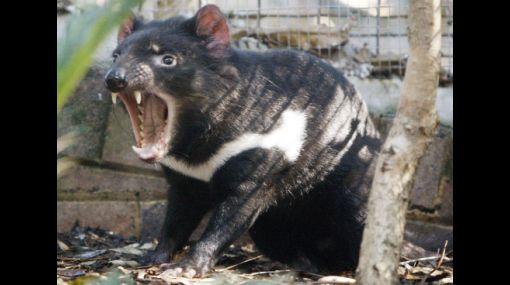 Estudios genéticos podrían salvar a demonios de Tasmania de la extinción