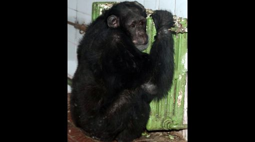 Vivir en cautiverio provocaría problemas mentales en chimpancés