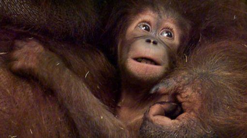 Alerta ambiental: grandes simios podrían desaparecer en menos de 20 años
