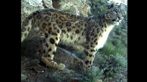 Afganistán: hallan leopardos de las nieves, especie en riesgo de extinción