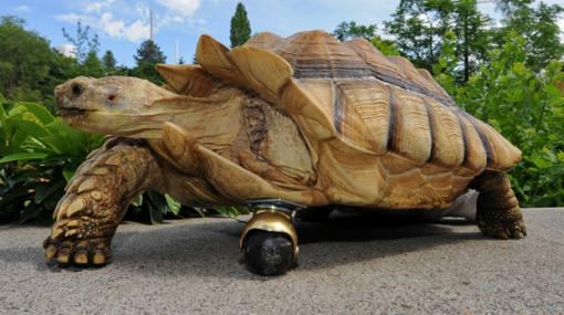 Tortuga usa una rueda giratoria para reemplazar su pata amputada