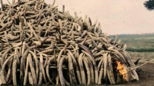 Kenia: queman casi 5 toneladas de colmillos de elefante en lucha contra caza furtiva