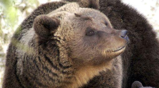 Ucrania: osos obligados a beber vodka para atraer turistas serán puestos en libertad