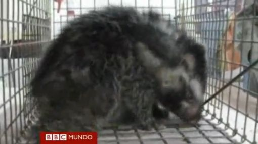 Trampa mortal: la rata de crin y su método para ahuyentar a sus atacantes