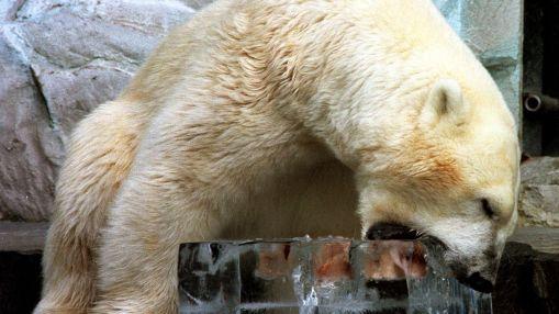 Osos polares entrarán cada vez más a zonas civilizadas para buscar comida