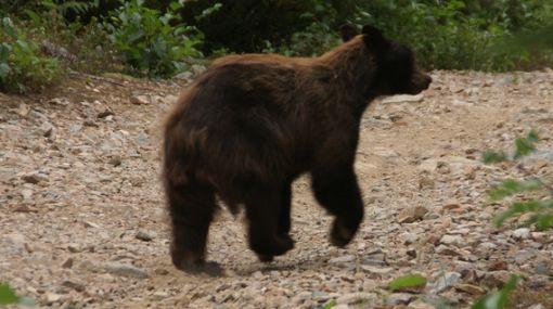 Rusia: cazadores recibirán 170 dólares por cada oso que maten