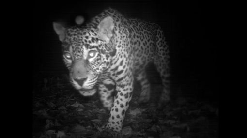 """La vida """"secreta"""" de los mamíferos fue captada con cámaras ocultas"""