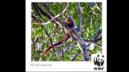 Una nueva especie de mono fue descubierta en Brasil
