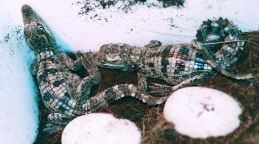 Laos: nacen 20 cocodrilos siameses, especie en riesgo de extinción
