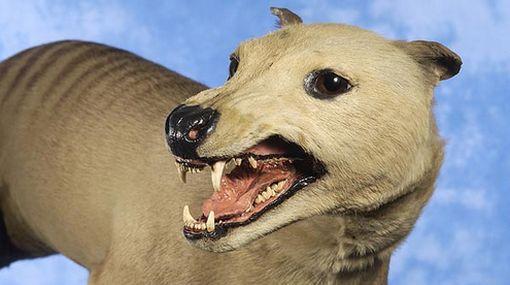 """El tigre de Tasmania, el """"feroz depredador"""" que el hombre extinguió por error"""