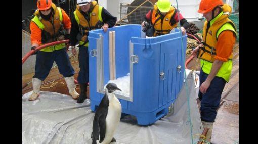 """""""Happy Feet"""", el pingüino emperador, regresó al océano"""
