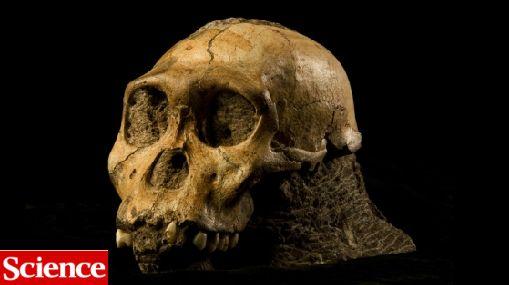 Australopithecus sediba, el ancestro que modificaría el árbol evolutivo del hombre
