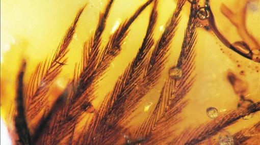 FOTOS: hallan plumas fosilizadas de dinosaurios en Canadá