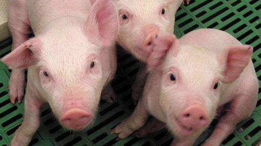 China: clonan a cerdo que sobrevivió un mes bajo escombros
