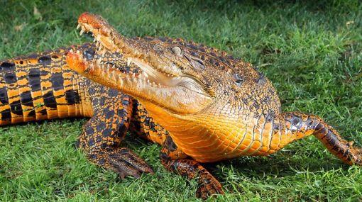 Snappy, el cocodrilo naranja que sorprende en Australia