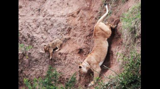 FOTOS: leona rescató a su cachorro atrapado en pendiente