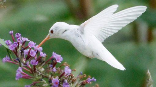 EE.UU.: imágenes de un raro colibrí albino captadas por un adolescente