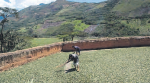 El Gobierno evalúa subsidiar a cocaleros que cambien sus cultivos
