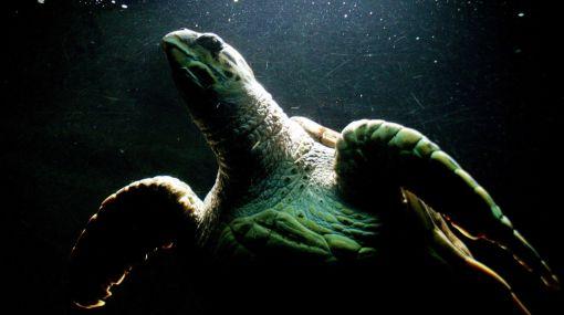 Elaboran primer censo a tortugas marinas en peligro de extinción