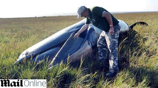 Inglaterra: encuentran una ballena muerta en tierra firme